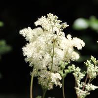 Рецепты здоровья: таволга вязолистная - природный аналог аспирина