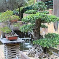 Садовый бонсай: японские мотивы в среднерусском саду