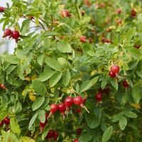 Рецепты здоровья: витаминные сборы с плодами шиповника