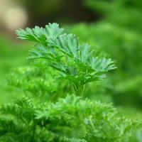Рецепты здоровья: петрушка для сердца и сосудов