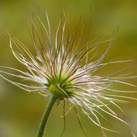Сеем сон-траву: как размножить прострел семенами