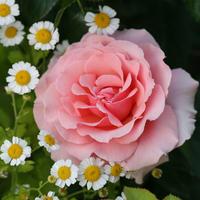 Розы для романтического сада