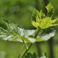 Рецепты здоровья: листья черной смородины как чай и лекарство