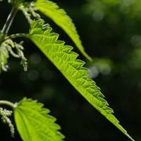 Рецепты здоровья: крапива двудомная против аллергии