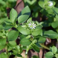 Рецепты здоровья: трава мокрицы от остеохондроза