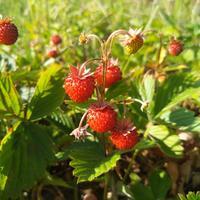 Рецепты здоровья: лечебные свойства ягод земляники