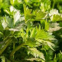 Рецепты здоровья: сельдерей при остеохондрозе