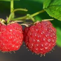 Рецепты здоровья: ягоды малины при простуде