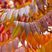 """Осенью """"Ух!"""" и """"Ах!"""" - это сумах!"""