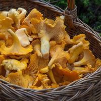 Рецепты здоровья: целебные свойства лисичек