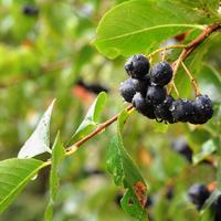 Рецепты здоровья: черноплодная рябина в домашней аптечке