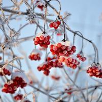 Рецепты здоровья: лечебные свойства ягод калины и их применение