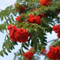 Рецепты здоровья: витаминные настойки с рябиной