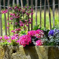 Однолетники в саду - правильный выбор!