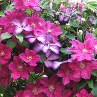 Клематисы во всей красе: как добиться хорошего цветения