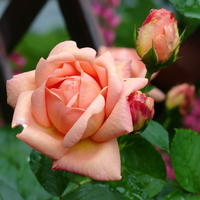 Чего хочет роза? Здоровое питание для королевы цветов