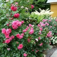 Сажаем розы: как, когда и куда