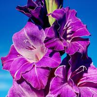 Выращиваем гладиолусы: полезные советы опытного цветовода