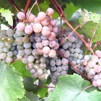 Виноград из-под Питера. Заметки оптимиста