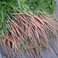 Моя маленькая морковная хитрость