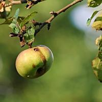 Капризы погоды и болезни плодовых: что делать садоводу