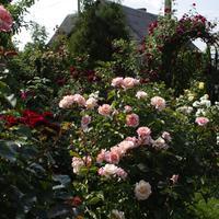 Что стоит знать о плетистых розах: рекомендации профессионала