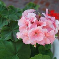 """Незнакомая пеларгония: факты, которые изменят ваше отношение к """"бабушкиному цветку"""""""