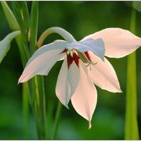 """Ацидантера - """"острый цветок"""""""