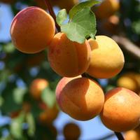 Абрикос, или армянское яблоко