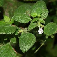 Мелисса - пчелиная мята, посадка, выращивание, уход