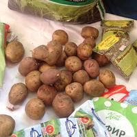 Ранний молодой картофель через рассаду