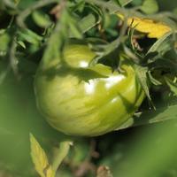 Срывать на дозревание томаты или нет?