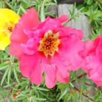 Портулак - идеальный цветок для уличных горшков