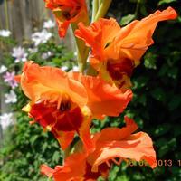 Расцвёл удивительной красоты гладиолус!