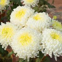 Легенды о хризантемах