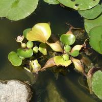 Догадайтесь, что это за водное растение?