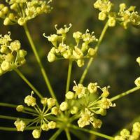 Целебное растение – горичник русский