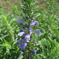Змееголовник молдавский – прекрасное пряно-ароматическое растение
