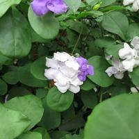 Брунфельсия чашевидная – цветок «вчера, сегодня и завтра»