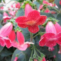 Колерия пушистоцветковая – колумбийская красавица для украшения интерьера