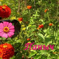 Панычи - стройные и горделивые цветы.