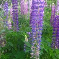 Люпин - цветок для радости, корни для оздоровления почвы.