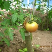 Первый помидор