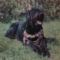 Поиск собаки по заданным качествам или русский черный терьер