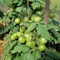 Еще раз о пасынковании помидоров.