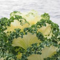Как создаются новые сорта капусты?