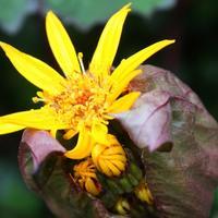 Бузульник - огненный цветок