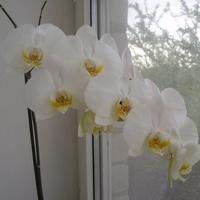 Знакомьтесь Орхидея Фаленопсис
