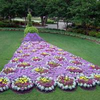 Заведите прекрасных павлинов в саду