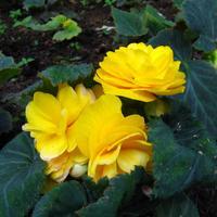 Бегония клубневая - наш семейный цветок